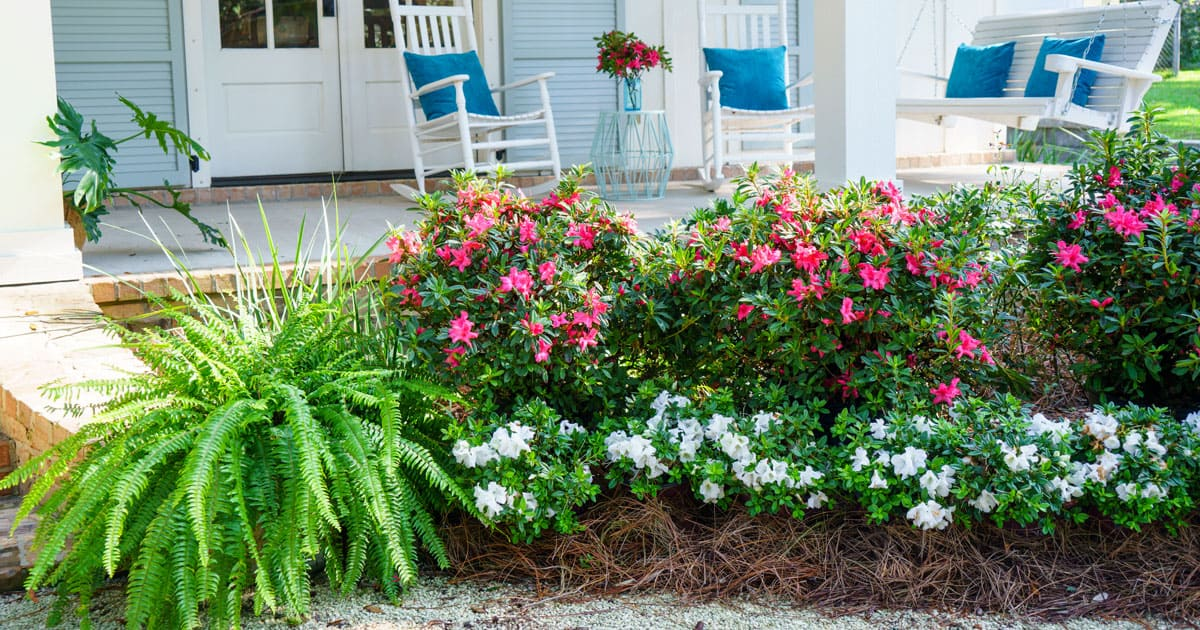 Pink and white Encore Azaleas in front of porch