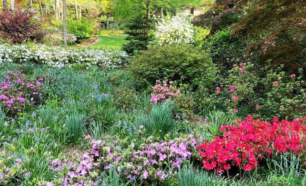 Encore Azaleas in Gibbs Garden