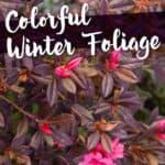 Encore Azaleas with winter foliage color