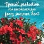 Encore Azaleas bloom in summer near a pool
