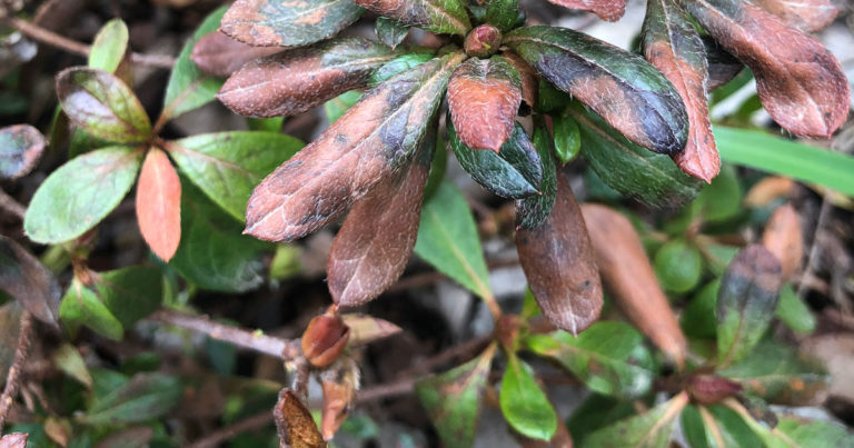 Discolored leaves from freezing temps on azalea leaves