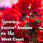 Red blooming Encore Azaleas on the West Coast