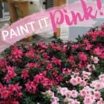 Pink Reblooming Encore Azaleas