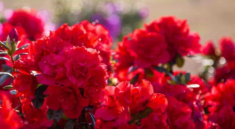 Red Encore Azaleas Blooming in the Sun